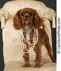 CoCo 2 - Stock photo of a King Charles Cavalier puppy...