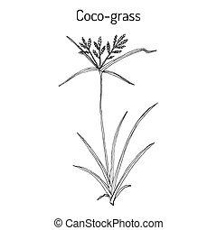 coco-grass, rotundus, medicinaal, of, cyperus, noot, plant, ...