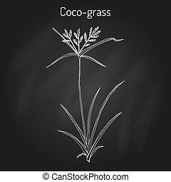coco-grass, rotundus, zegge, noot, of, cyperus, medicinaal, ...