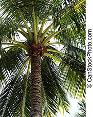 Coco-trees - Tree of a coco the bottom view