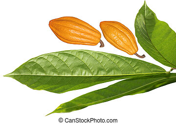 Fresh cocoa cacao bean fruit and leaves isolated on white background