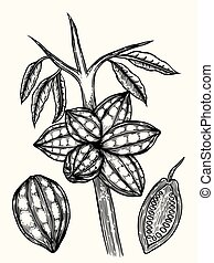 Cocoa beans illustration.