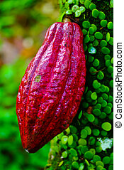 Cocoa fruit in the tree. Cocoa pods in tree, - Cocoa fruit...