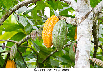 cocoa fruit in the tree - Shot in Bali, Indonesia