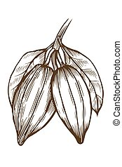 Cocoa illustration drawing - Hand drawn Cocoa illustration,...
