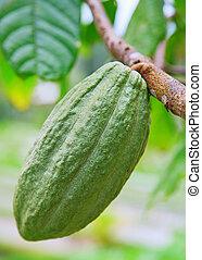 Cocoa pod - Cocoa tree with pod, Bali island, Indonesia