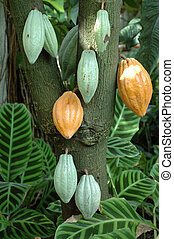 Cocoa tree - Cocoa pods on tree