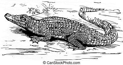 cocodrilo, agua salada, grabado, ilustración