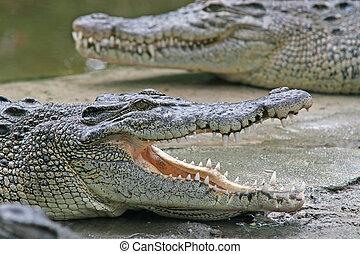 cocodrilo, mandíbulas