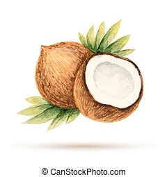 Coconut hand drawn watercolor, on a white background. Vector...
