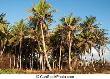Coconut Grove - A coconut grove in the tropics