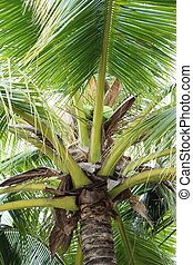 coconut is a bunch on the tree