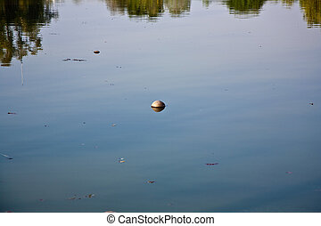 coconut is swimming in the lake of the park in the ...