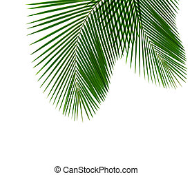 Coconut Leaf - Single coconut leaf isolated on white...