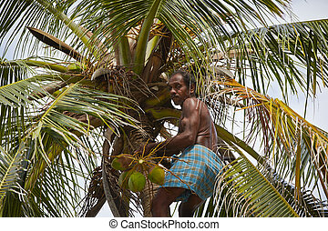 Coconut man - Man is climbing up to palm tree for harvest ...