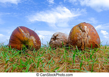 coconut on green grass at the shore under cloudy and blue sky background