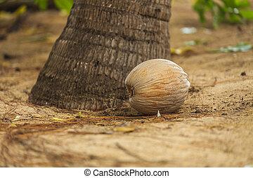 Coconut on the sandy beach near a palm tree.
