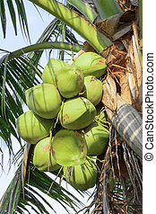 coconut on the tree for background