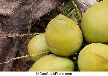 Coconut on tree closeup