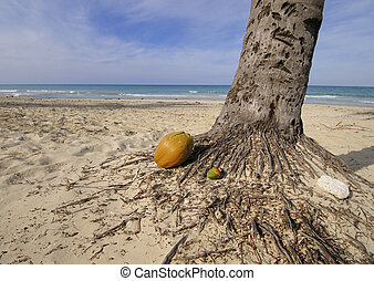 Coconut on tropical beach