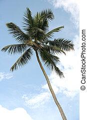 Coconut palm - A coconut palm against a cloudy blue sky