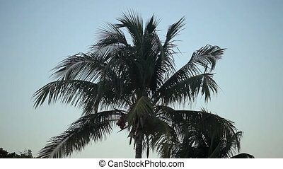 Coconut palm at the evening