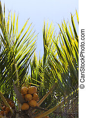 Coconut Palm Fronds - Palm fronds and coconuts