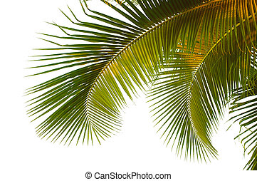 Coconut palm fronds - Hanging coconut palm fronds from...