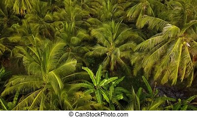 Coconut palm plantation beautiful aerial view from drone. 4k...
