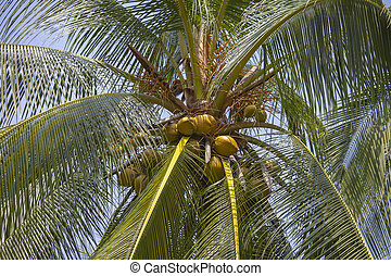 Coconut palm tree against the blue sky ,Thailand. Close up