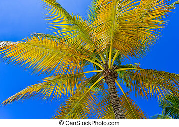 Coconut Palm Tree at the Sky, Dominican Republic