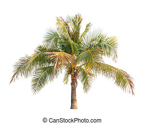 Coconut palm tree isolated on white background - Coconut...