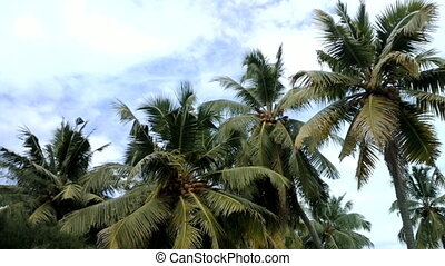 coconut palm tree with ripe nuts. Kerala