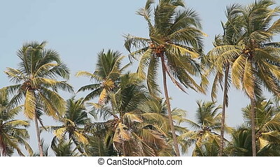 coconut palm trees and sky - coconut palm trees and blue sky