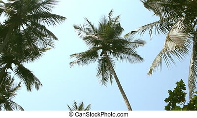 coconut palm trees and sky - coconut palm trees over blue...