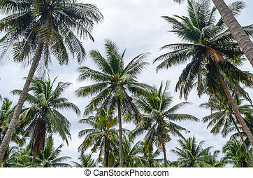 Coconut palm trees  in Thailand