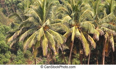 coconut palm trees in the tropical forest