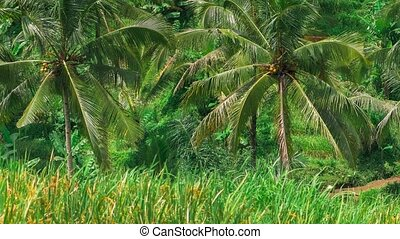 Coconut palm trees moving by the wind on Tegalalang Rice Terrace. Bali. Indonesia