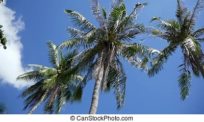 Coconut palm trees on blue sky