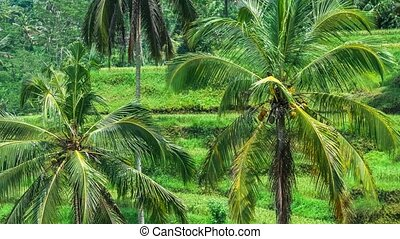 Coconut palm trees on Tegalalang Rice Terrace Cascade. Bali. Indonesia