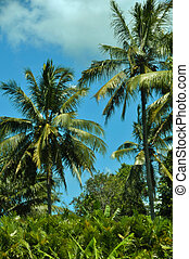 Coconut Palm Trees - Rows of coconut trees in tropical...