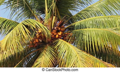 coconut palm under blue sky closeup