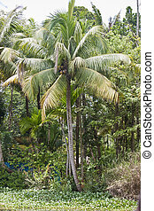 Coconut palms in Backwaters, Kerala, India