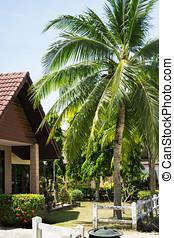Coconut palms in the Thai village