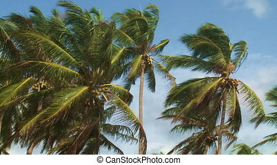 Coconut palms - Coconut palms moving in the wind against...
