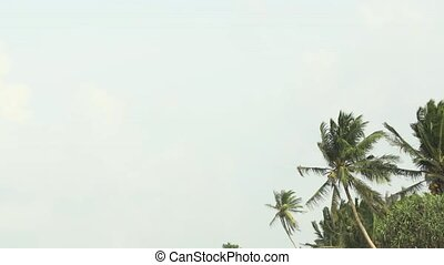 Coconut Palms Swaying in a Steady Wind in Sri Lanka -...