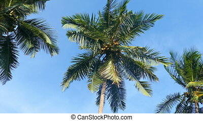 coconut palms under blue sky