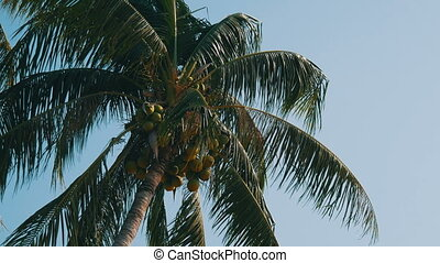 Coconut palms with green coconuts on palm tree - Coconut...
