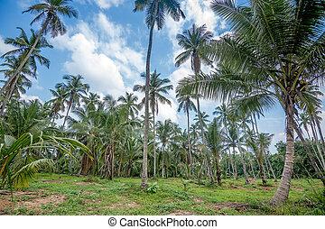 Coconut plantation in Asia - Beautiful landscape of coconut...