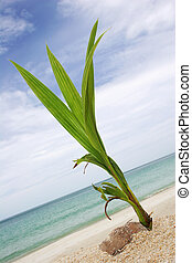 Coconut shoot on tropical beach